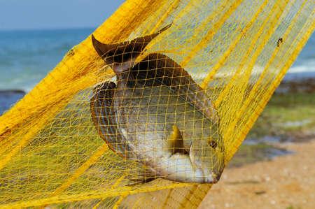 the big fish: Big fish in a yellow fishing nets Stock Photo
