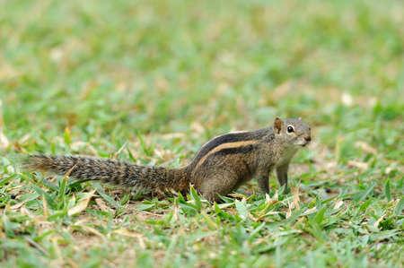 ardilla: Ardilla Chipmunk (Tamias) en la isla de Sri Lanka Foto de archivo