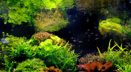 freshwater aquarium: Green beautiful planted tropical freshwater aquarium with fishes Stock Photo