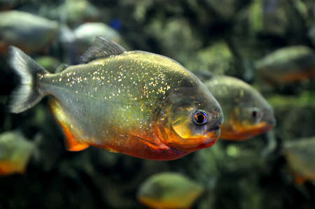 Tropical piranha fishes  in a natural environment Imagens