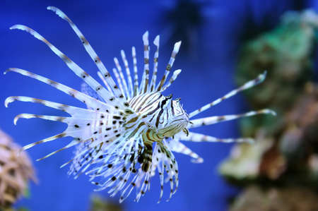 common lionfish: Common Lionfish (Pterois volitans) swimming above coral reefs
