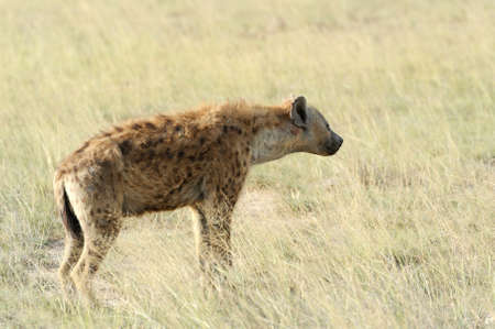 Spotted Hyena (Crocuta crocuta) in the National park of Kenya photo