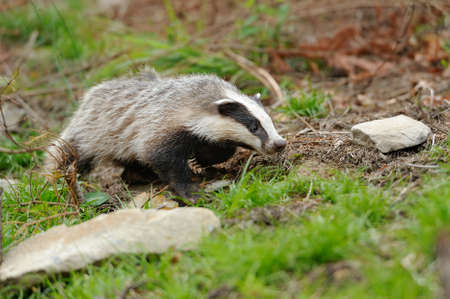Badger near its burrow in the summer forest