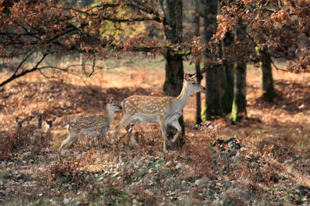 Close-up young whitetail deer standing in autumn day photo