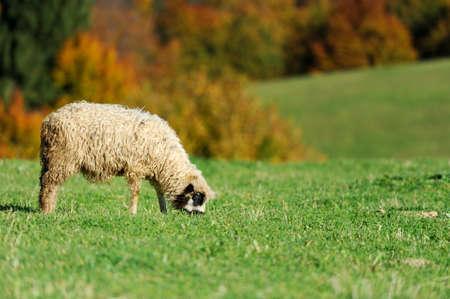 flock of sheep: Flock sheep in autumn field on a farm