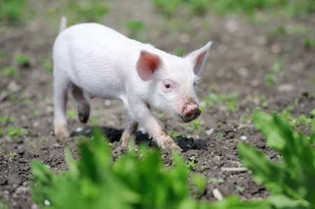 caked: Piglet on spring green grass on a farm Stock Photo