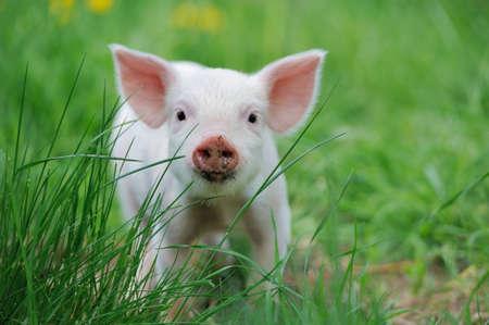 swine: Piglet on spring green grass on a farm Stock Photo