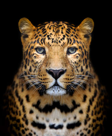 jungle: Close-up leopard portrait on dark background