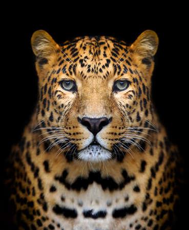 selva: Close-up retrato de leopardo sobre fondo oscuro