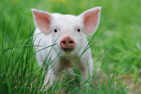 animales de granja: Piglet en primavera verde hierba en una granja Foto de archivo