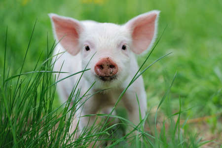 farms: Piglet on spring green grass on a farm Stock Photo