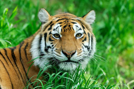 tiger eyes: Amur Tigers on a geass in summer day Stock Photo