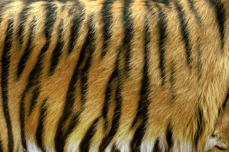 tiger skin: Beautiful tiger fur - close up tiger skin texture
