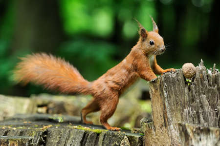 pine nuts: Red squirrel on a tree stump with nuts
