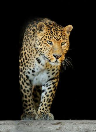 Close up wild leopard on the dark background