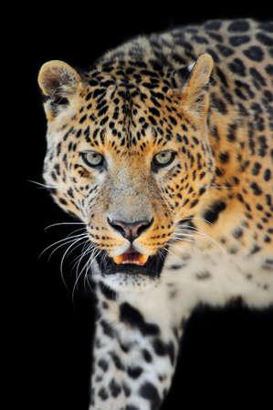 black leopard: Close up wild leopard on the dark background