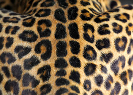 leather skin: Close up real leopard skin texture for background