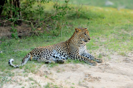 leopard head: Leopard in the wild on the island of Sri Lanka