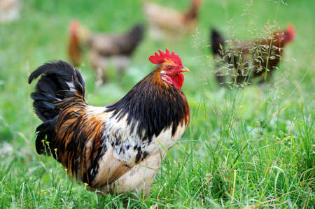 Beautiful Rooster (Male Chicken) on a nature background