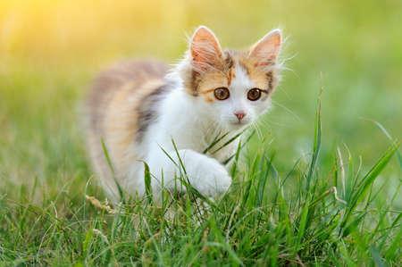 Tri coloreado gato joven en la hierba de verano