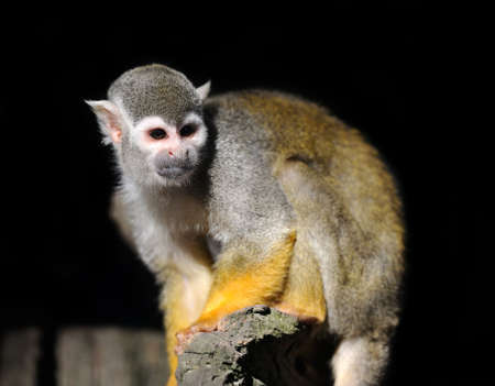 sciureus: Close-up baby of a Common Squirrel Monkey on branch in dark background Stock Photo