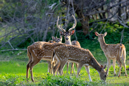 spotted: Wild Spotted deer in Yala National park, Sri Lanka