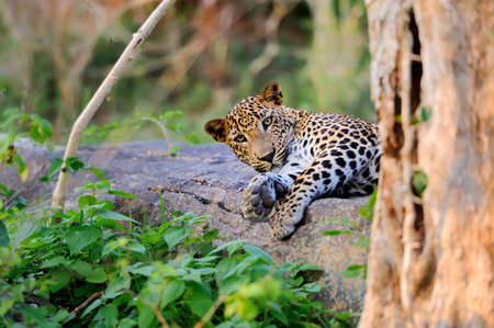 sri: Leopard in the wild on the island of Sri Lanka