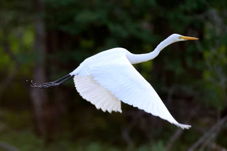 bird feathers: Beautiful Great white egret fly in wildlife Stock Photo