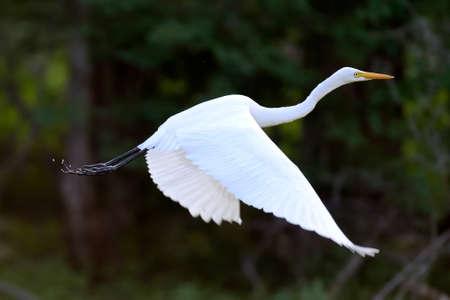 pajaros: Hermosa Gran mosca garceta blanca en la fauna silvestre