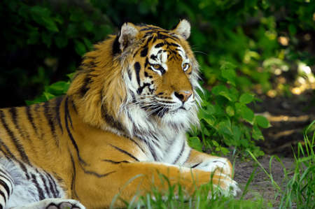 Amur Tigers on a geass in summer day 免版税图像