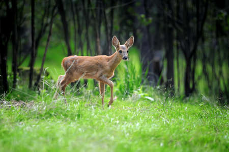 Young roe deer standing in the summer forest