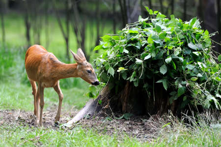 roebuck: Young roe deer standing in the summer forest
