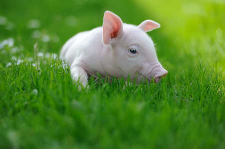 Piglet on spring green grass on a farm 免版税图像