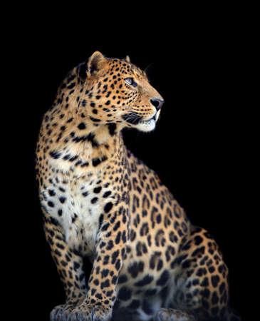 Primo piano selvaggio leopardo sul buio