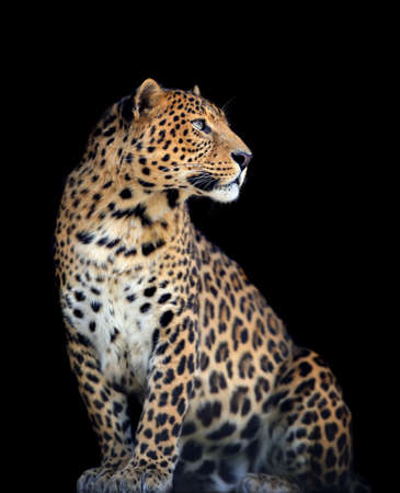 Close up wild leopard on the dark  Standard-Bild