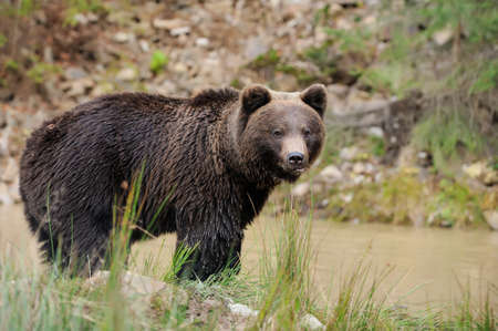 bear cub: Big brown bear (Ursus arctos) in the forest Stock Photo