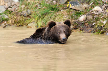 arctos: Big brown bear (Ursus arctos) in the forest Stock Photo