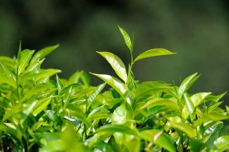 차 꽃 봉 오리와 나뭇잎입니다. 차 농장, 스리랑카 스톡 콘텐츠