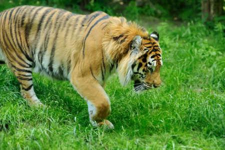 tigresa: Tigres de Amur en un geass en día de verano