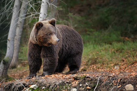 Big brown bear (Ursus arctos) in the forest Imagens