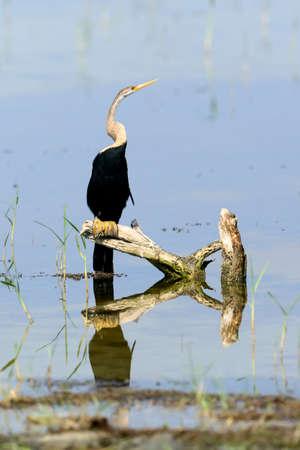 yala: Darter in the wild on the island of Sri Lanka Stock Photo