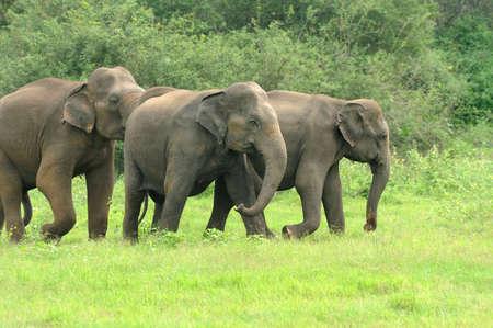 elefante: Los elefantes en el Parque Nacional de Sri Lanka Foto de archivo