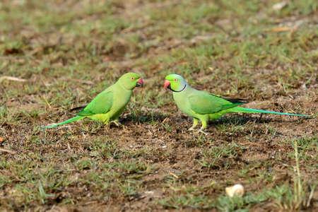perico: Parakeet Rose-anillado Dos. Isla de Sri Lanka