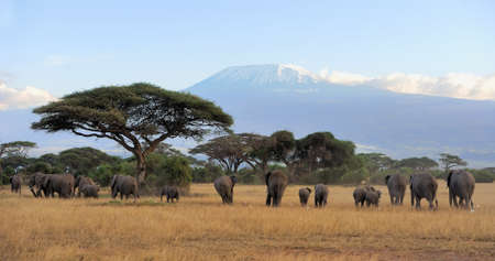Weibliche Elefanten mit Kilimandscharo Standard-Bild - 42723288