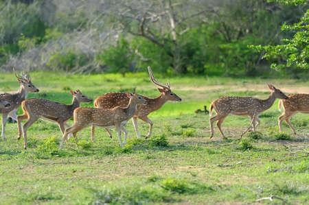 asia deer: Wild Spotted deer in Yala National park, Sri Lanka