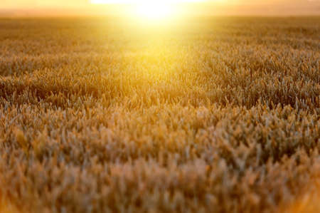 fall harvest: Ears of ripe wheat on a  sun in the evening Stock Photo