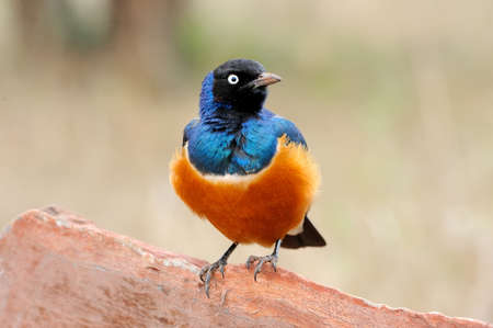 superb: Colourful bird Superb Starling sits on a branch