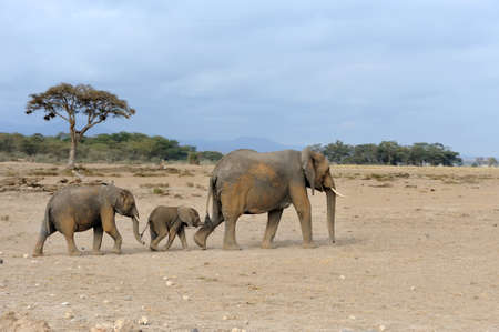 famille africaine: Elephant dans le parc national du Kenya, de l'Afrique Banque d'images