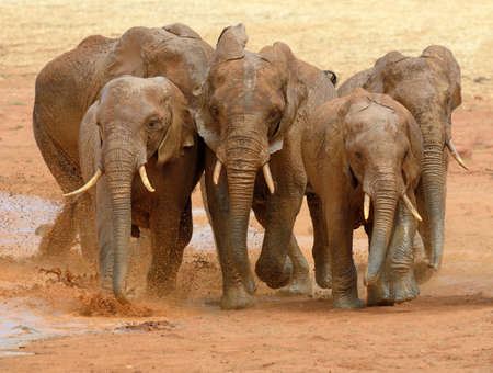Elephant in lake. National park of Kenya, Africa