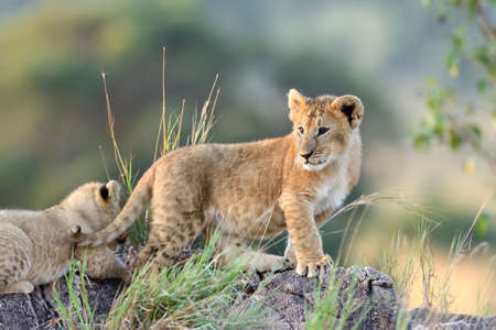 leo: African Lion cub, (Panthera leo), National park of Kenya, Africa